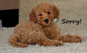 I'm Sorry Puppy