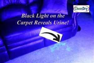 Urine on Carpet with Black Light